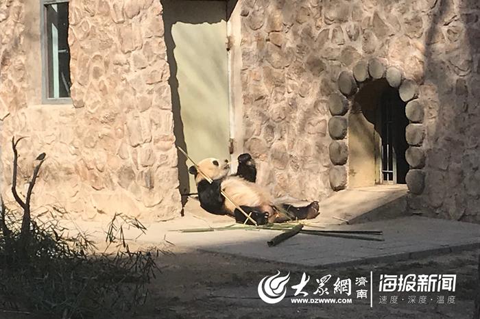 """大熊猫""""华奥""""已适应济南 近一个月胖了五斤"""