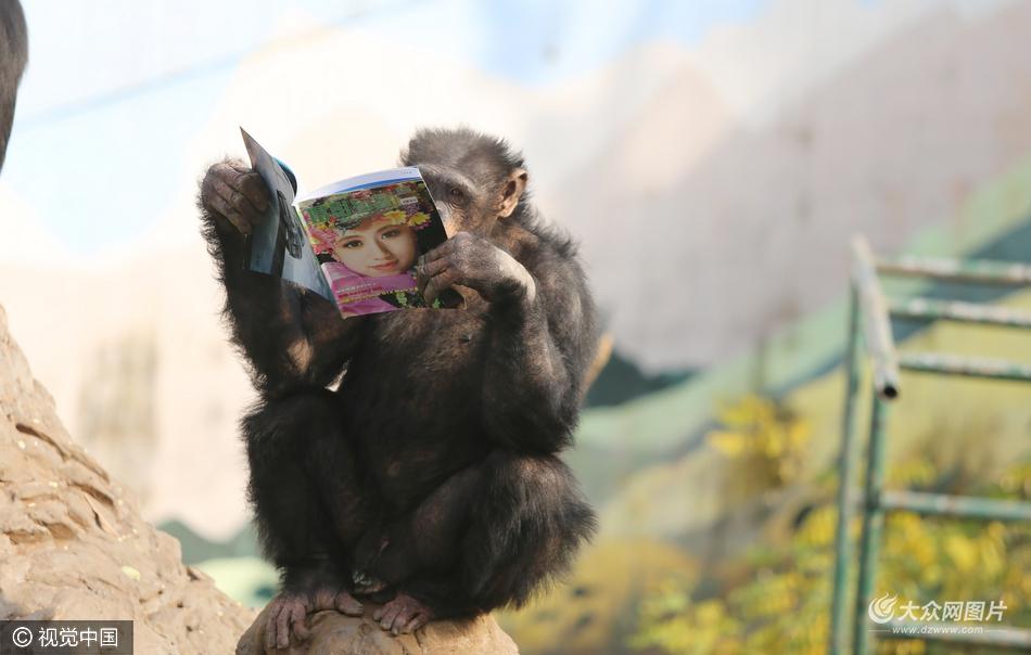 2016年12月27日,在重庆永川乐和乐都野生动物园,两只黑猩猩拿着书本认真翻看,逗得游客捧腹大笑。    据饲养员介绍,在黑猩猩馆内放了几本书,不料黑猩猩若有兴趣的翻看,书本内容有介绍互联网知识的,也有摄影方面的,游客看了忍俊不禁,纷纷赞叹,连猩猩也不甘落后,我们还有什么理由不认真学习。